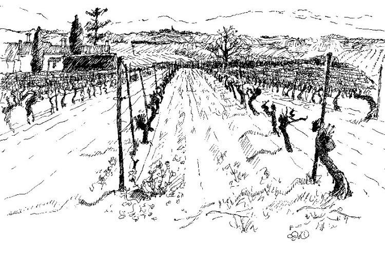 Vines in Caunes Illustration