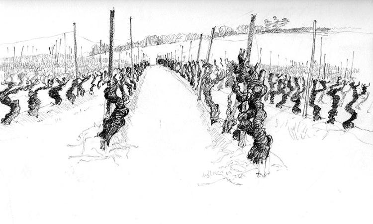 Vineyards in Caunes sketch